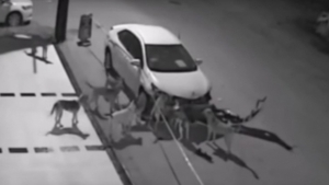 Auto attaccata dai cani in Turchia, il video è virale